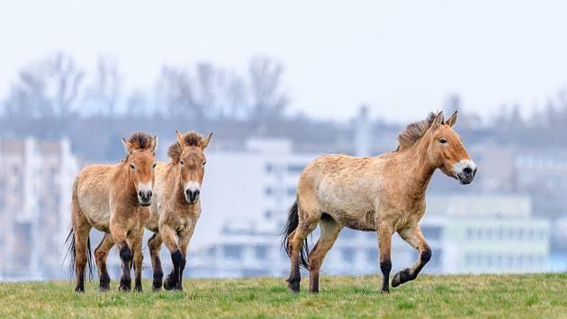 16. května 2021 – Putování za koňmi Převalského s turistickým oddílem